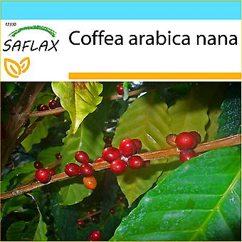 Saflax - regalo Set - 8 semi - nano caffè - Caféier d'Arabie - Pianta di caffè - Planta del café - Zwergkaffee-Strauch