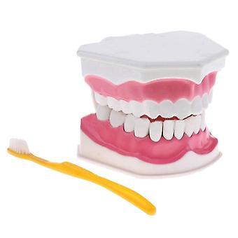 Hammasmalli ja hammasharja korkealaatuisilla hampailla Opetusmalli (valkoinen)