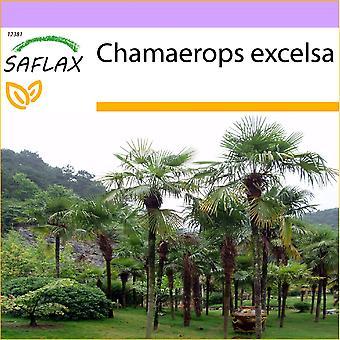 Saflax - 10 seeds - Chinese Windmill Palm - Palmier à chanvre - Palma di Chusan - Palma enana - Hanfpalme
