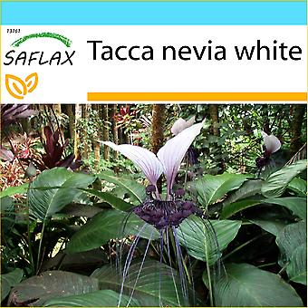 Saflax - regalo Set - 10 semi - gigante Bat fiore bianco - Géant népalais-Fleur chauve souris - Fiore pipistrello gigante - Planta murciélago - Nepalesische Riesen - Fledermausblume