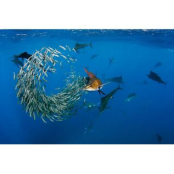 Le groupe Atlantic Sailfish chasse Round Sardinella Isla Mujeres Mexique Poster Print par Pete Oxford