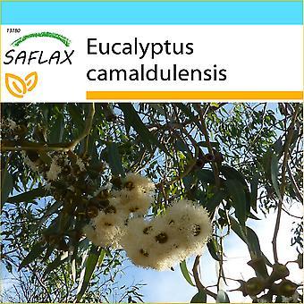 Saflax - Geschenk Set - 200 Samen - River Red Gum - Gommier des Rivières - Eucalipto Rosso - Eucalipto Rojo - Roter Fluss - Eukalyptus