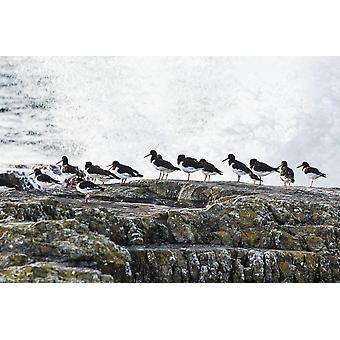 Wave crashing into rocks with a row of oystercatchers Kilkee County Clare Ireland PosterPrint
